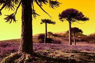 Pehuenes milenarios - Milenary Pehuen Forest