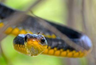 Regard du Serpent chasseur et son moustique de Guyane Française