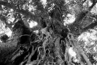 Bodhgaya Tree