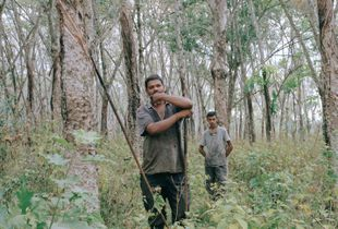 Freelance rubber tappers working in a leasehold rubber plantation