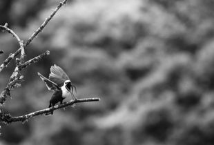 Bellbird mating call