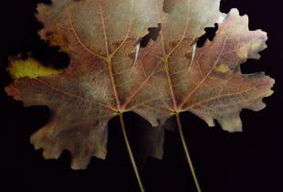 Maple shadow