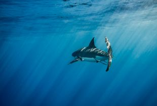 The great white in the big blue