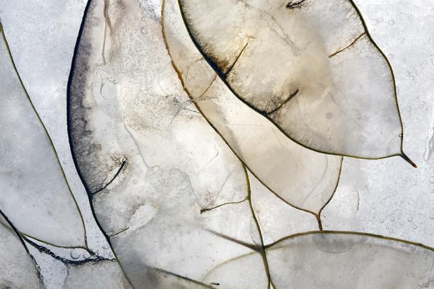 Lunaria Rediviva 1