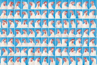 A Selection of the Total 168 Hen Portraits