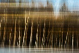 Hebredian blue birches