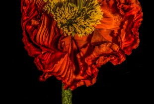 Poppy Flower 2015