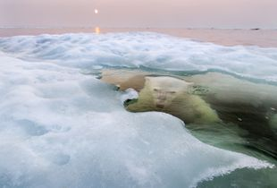 The Ice Bear. A polar bear peers up from beneath the melting sea ice on Hudson Bay as the setting midnight sun glows red from the smoke of distant fires. The Manitoba population of polar bears, the southernmost in the world, is particularly threatened by a warming climate and reduced sea ice. <br>Grand Prize and Nature Winner © Paul Souders/National Geographic Photo Contest