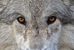 Cinammon Gray Wolf