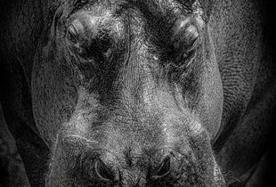 Hippopotamus, endangered...