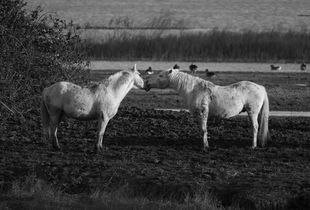 Camargue horses and their life - Love