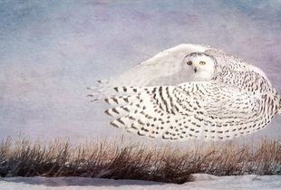Hover (Snowy Owl)