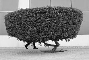 The Walking Bush