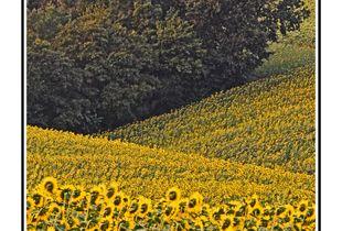 Cover - Sunflower Season 2- 1