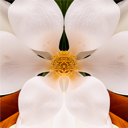 Gently Surreal Magnolia #1