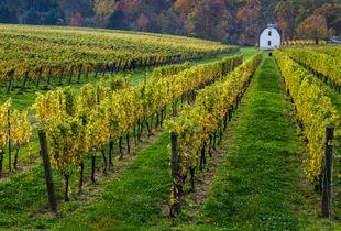 Vines & Their Fruit I