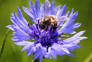 Bee on Bachelor Button - LaRochelle France