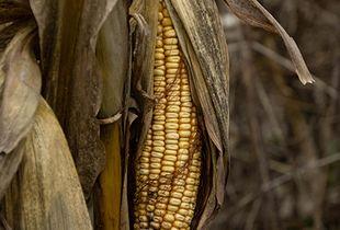 Unharvested Grain