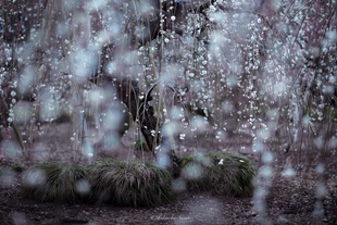 Rain of weeping plum