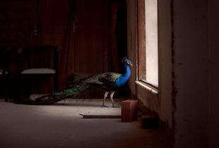 The Peacock in the Room
