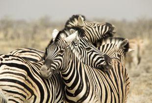 Hug of zebras