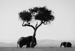 Under the Acacia Tree.