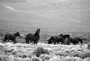 The Last Of The Wild Mustangs