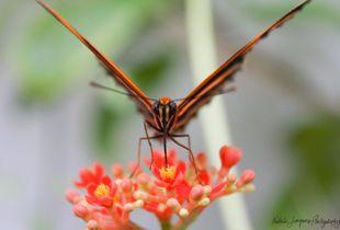 Tiger Oak Butterfly