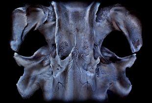 Minke whale skull.