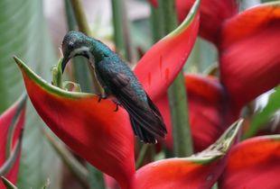 Blue green Hummingbird