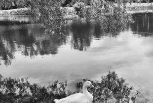 Goosewalk 1