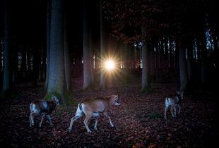 Fairytale Woods II