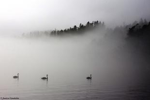 Mute swans in April fog