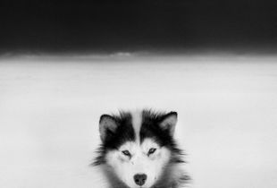 Baffin dog © Ragnar Axelsson