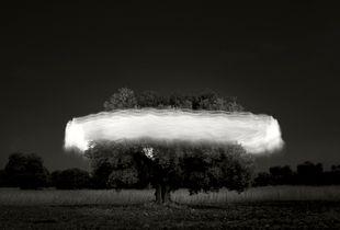 Olive tree, Puglia.