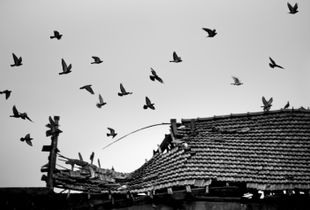 Doves in the roof
