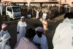 In conversation with camels
