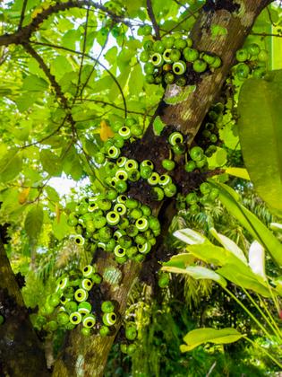 Ficus superba + Nazar Boncuğu (evil eye bead)