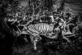 Human & Tiger Conflict