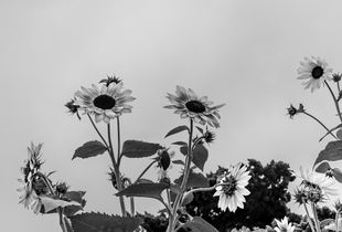 Daisies against the grey sky