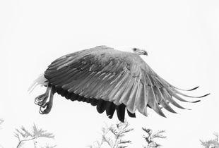Fish Eagle, Queen Elizabeth N. P.