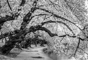 Ancient Blossoms