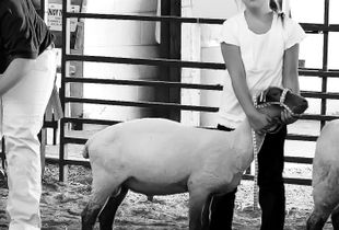 Showing a Sheep at the County Fair
