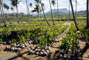 Growing coconuts trees