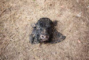cattle head