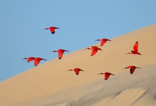 Flight of The Scarlet Ibis