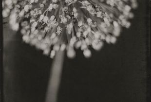 Portrait of a Leek Flower, Wet Plate Collodion, 4x5 Tintype. © Michelle Smith-Lewis,