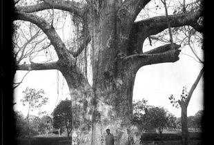 Baobab Tree near Bungi Village, Zanzibar