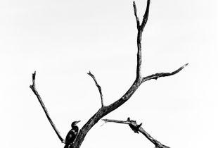 Sorrowful Cormorant