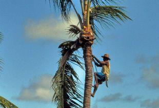 Coconut tree worker